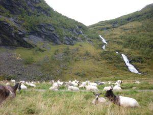 Eit besøk hjå geitene sin sommerplass Kårdalen (opp i Flåmsdalen). Utover året har me vore her fleire gongar. Kjempefin plass rett langs Rallarvegen.