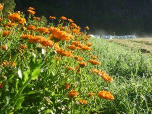 Calendula eller ringblomst blomstrar på tunet. Me har plukka og tørka dei i øvingar. Blomstane kan brukast i te og m.m.