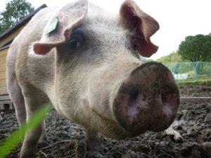 Nøffnøff.. Dei 4 grisene som gravde åkeren ferdig til neste år blei slakta før vinteren. Dei var private, så me som elevar hadde ingenting meir å gjere med dei enn å kose.. ☺