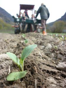 Planting av kål etter oppalstida i veksthuset.