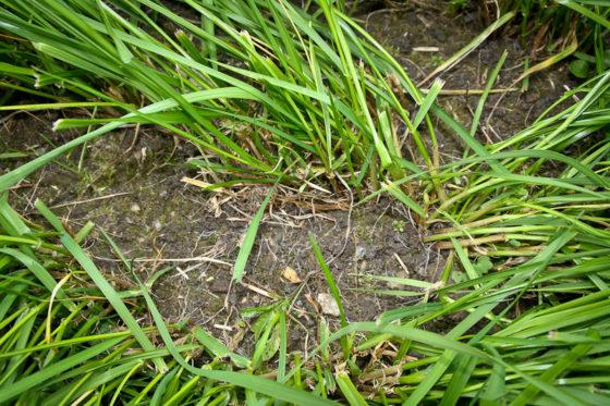Disse små klompane på jorda mellom graset, er meitemark-bæsj.