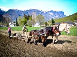 Elever bruker en sveitsisk vendeplog med hestene Kjartan og Almitra, til å pløye elvehagen