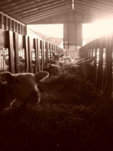 Sauene har stor appetitt etter fødselen – ikkje så rart, skal dei jo mjølke mykje dei neste vekene. Her koser Eva (fremst til venstre) og resten seg med grovfor frå SJH.