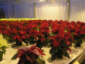 og inne i veksthuset like ved finn vi salgsklare økologiske julestjerner
