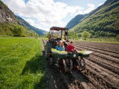 Utplanting av salat Foto Tom Boersma