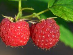 raspberry-3454504